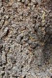 Naturlig bakgrund Textur, gran & x28 för trädskäll; Picea Abies& x29; arkivbild