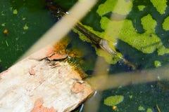 Naturlig bakgrund, träsket med grönt skum och grodynglar, småbarn av grodor och paddor, många svärtar embryon i ett damm med en t arkivbilder