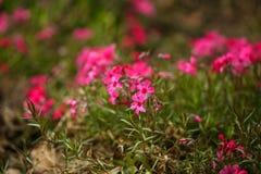 naturlig bakgrundsblomma Den fantastiska natursikten av rosa färger blommar att blomma i trädgård Royaltyfria Foton