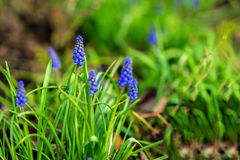 naturlig bakgrundsblomma Den härliga muscarihyacinten som blommar på en grön gräsmatta i trädgård eller parkerar in, närbilden, k Royaltyfri Fotografi
