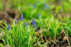 naturlig bakgrundsblomma Den härliga muscarihyacinten som blommar på en grön gräsmatta i trädgården eller parkerar, kopierar in,  fotografering för bildbyråer