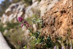 naturlig bakgrundsblomma Löst litet växa för blomma bland stenar Arkivfoto