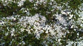 Naturlig bergvit Moss Covering Hills ovanför blå tonad hjälpmedelsikt lager videofilmer