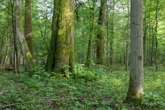 Naturlig blandad st?llning av den Bialowieza skogen fotografering för bildbyråer
