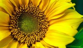 Naturlig blick av den blommande oavkortade skärmen för solros Fotografering för Bildbyråer