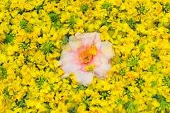 Naturlig blom- bakgrund av Rape blommar - symbol av Jeju Royaltyfria Bilder