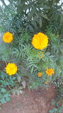 Naturlig blomma Arkivfoton