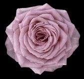 Naturlig blomma av en rosa färgros Blomman isoleras på en svart bakgrund med den snabba banan Närbild royaltyfri fotografi