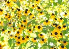 Naturlig blommabakgrund. Svart synad susan växt i en trädgård Arkivbild