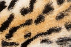 Naturlig djur pälsbakgrundstextur Prickig modellnärbild för ull royaltyfria bilder
