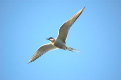 naturlig flygare Royaltyfri Fotografi