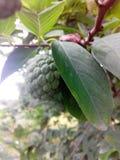 Naturlig frukt Arkivbilder
