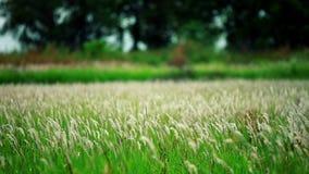 Naturlig gräsblomma medan vindslaget lager videofilmer
