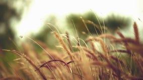 Naturlig gräsblomma medan vindslaget arkivfilmer