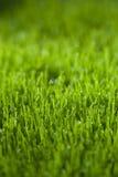 naturlig grässlätt för eftermiddagdagggräs sent Arkivbilder