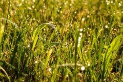 naturlig grässlätt för eftermiddagdagggräs sent Arkivbild