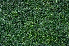 Naturlig grön bladvägg Fotografering för Bildbyråer