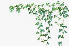 Naturlig grön tjänstledighetbakgrund, lös klättringvinranka på vit backgr Arkivfoton