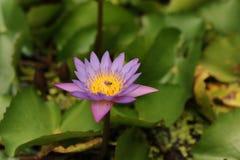 Naturlig härlig purpurfärgad lotusblommablomma Royaltyfri Fotografi