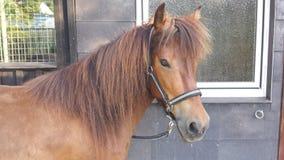 Naturlig isländsk häst Fotografering för Bildbyråer