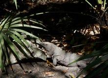 Naturlig Joven leguanen México Arkivbild
