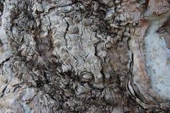 naturlig konst Slut upp gammalt eukalyptusträdskäll royaltyfri fotografi