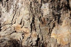 naturlig konst Slut upp gammalt eukalyptusträdskäll royaltyfria foton