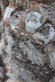 naturlig konst Slut upp gammalt eukalyptusträdskäll och att gnarl royaltyfria bilder