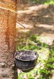 Naturlig mjölkaktig rubber latex som fångas från gummiträdet i bunke Arkivbild