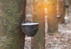 Naturlig mjölkaktig rubber latex som fångas från gummiträdet i bunke Fotografering för Bildbyråer
