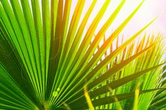 Naturlig modell från stora runda spetsiga palmträdsidor på klar bakgrund för blå himmel Guld- solljussignalljus tropiskt royaltyfri bild