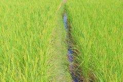 Naturlig modellbakgrund för grön risfält royaltyfri fotografi