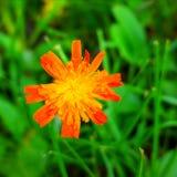 Naturlig mutation Royaltyfria Foton