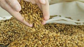 Naturlig och sund malt för framställning av hantverköl eller av whisky 4k stock video