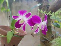 Naturlig orkidéblomma i Sri Lanka Fotografering för Bildbyråer