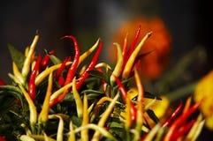 naturlig peppar Arkivbild