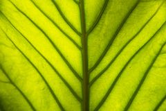 Naturlig sikt för Closeup av det gröna bladet med kopieringsutrymme genom att använda som natu Royaltyfria Foton