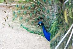 naturlig sk?nhet P?f?gelf?gel Zoobegrepp Påfågel i naturbakgrund för naturlig miljö Manlig påfågel med färgrikt royaltyfri fotografi