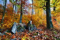 Naturlig skog i hösten, nedgång Arkivfoton