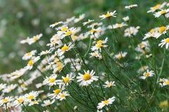 naturlig sommar för bakgrund Kamomill Arkivbilder