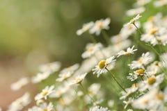 naturlig sommar för bakgrund Kamomill Royaltyfri Fotografi
