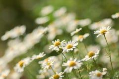 naturlig sommar för bakgrund Kamomill Arkivfoton