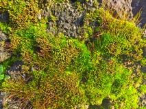 Naturlig textur av grön mossa royaltyfria foton
