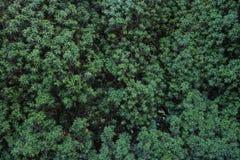 Naturlig textur för barrträds- trä branches grangreen Royaltyfria Foton