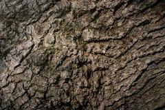 Naturlig textur för närbild av det bruna skällträdet Royaltyfri Foto