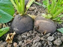 naturlig tillväxt för svarta rädisor från mina egna trädgård royaltyfri fotografi
