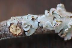 Naturlig trädsvamp Arkivbild