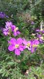 Naturlig växt för Yelow färgbeautifil i Sri Lanka arkivfoton