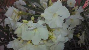 Naturlig vit blomma Arkivbilder