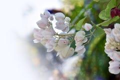 Naturlig vit blomma med suddig bakgrund Royaltyfri Bild
